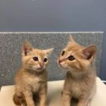 2 Orange Tabby Kittens